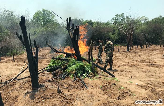 121 Brigade Troops Swoop on 'Cannabis' Cultivation in Gonagan Area